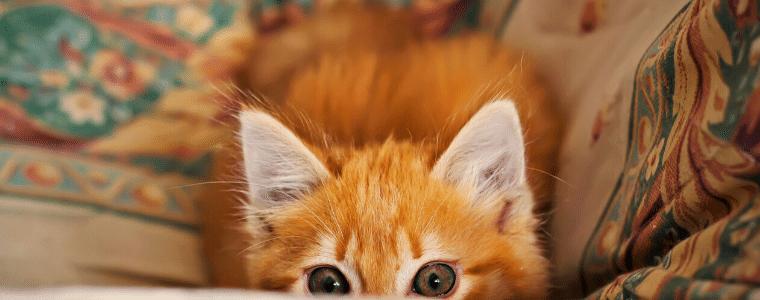 גור חתולים מציץ