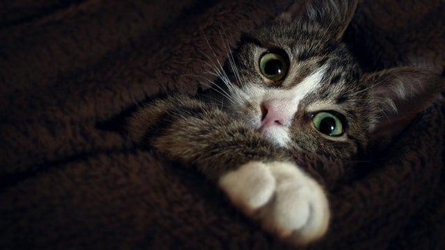 חתול מתחת לשמיכה - גור חתולים התבגרות