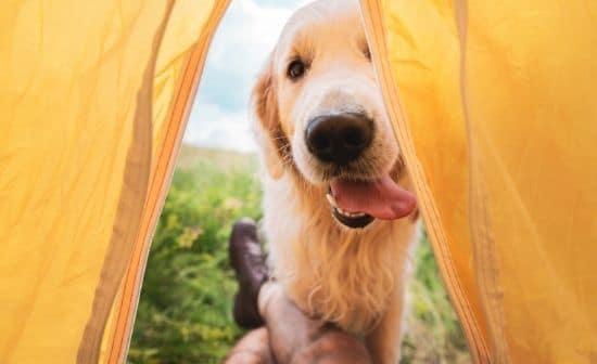 כלב מציץ בפתח האוהל
