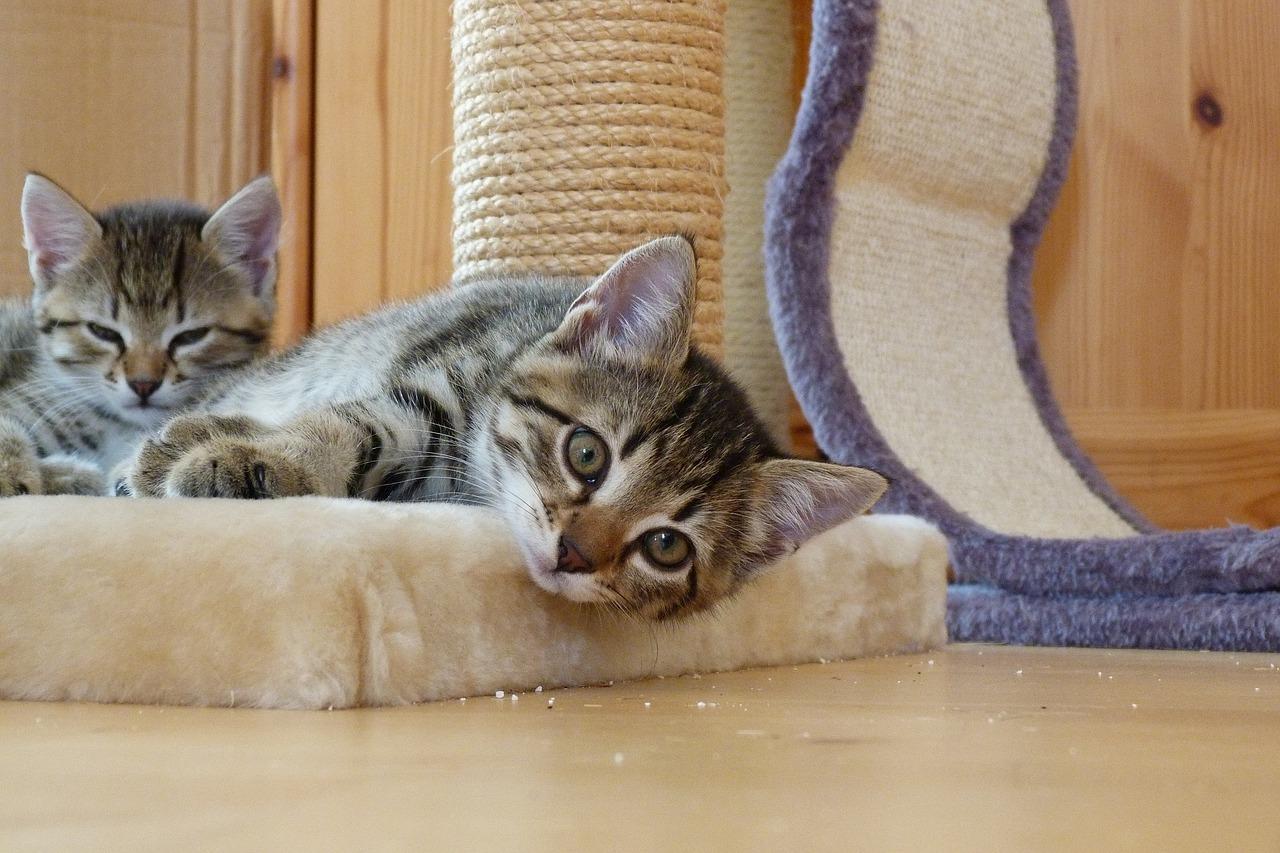 שני חתולים על משטח גירוד - גור חתולים התבגרות