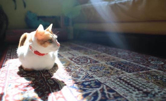 חתול על שטיח בריבוע שמש