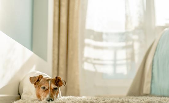 כלב על שטיח בשמש