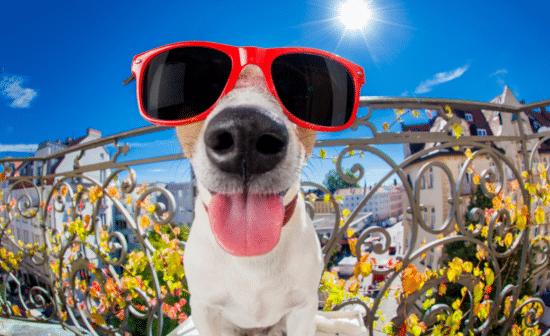 כלבם עם משקפי שמש
