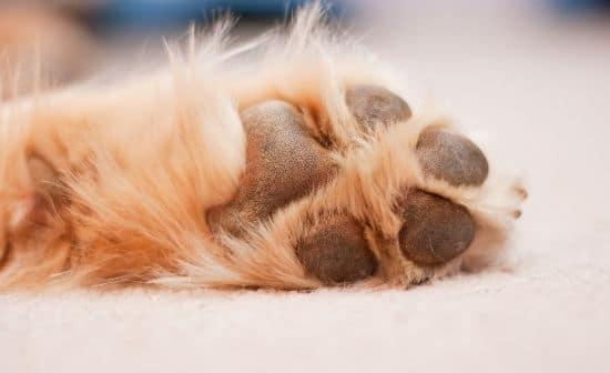 כריות כף הרגל של כלב