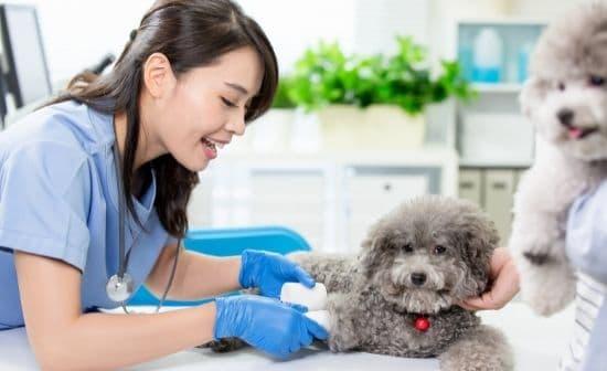 וטרינרית מטפלת בכוויות בכריות כפות הרגליים של כלב