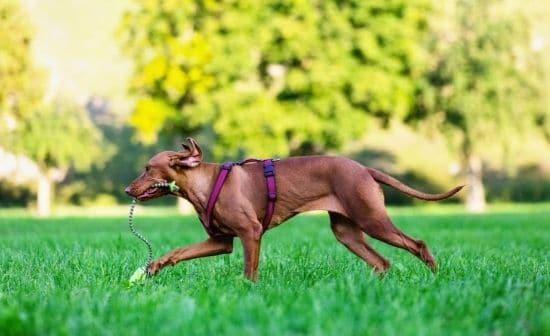 כלב רץ על דשא