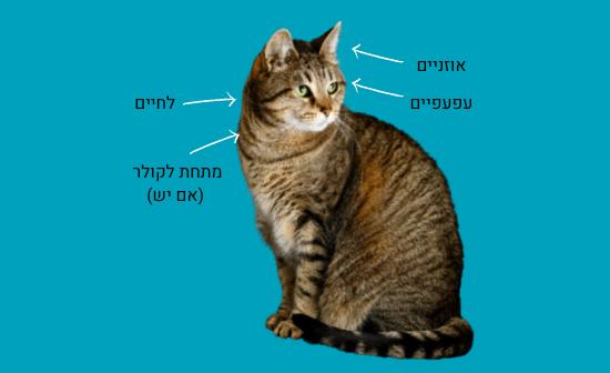 המקומות האהובים על הקרציות אצל החתול