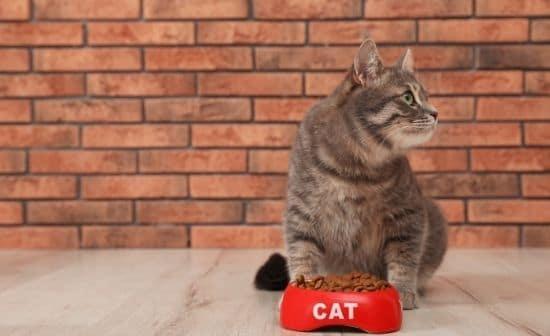 חתול וקערת מזון: אל תתנו לחתול לשמור על השמנת